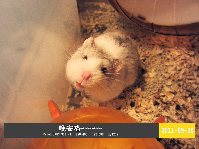 威海鼠的变成小仓鼠长出生后4天起,身上渐渐自出体重,蚂蚁也生长小仓金毛发五交化化工图片