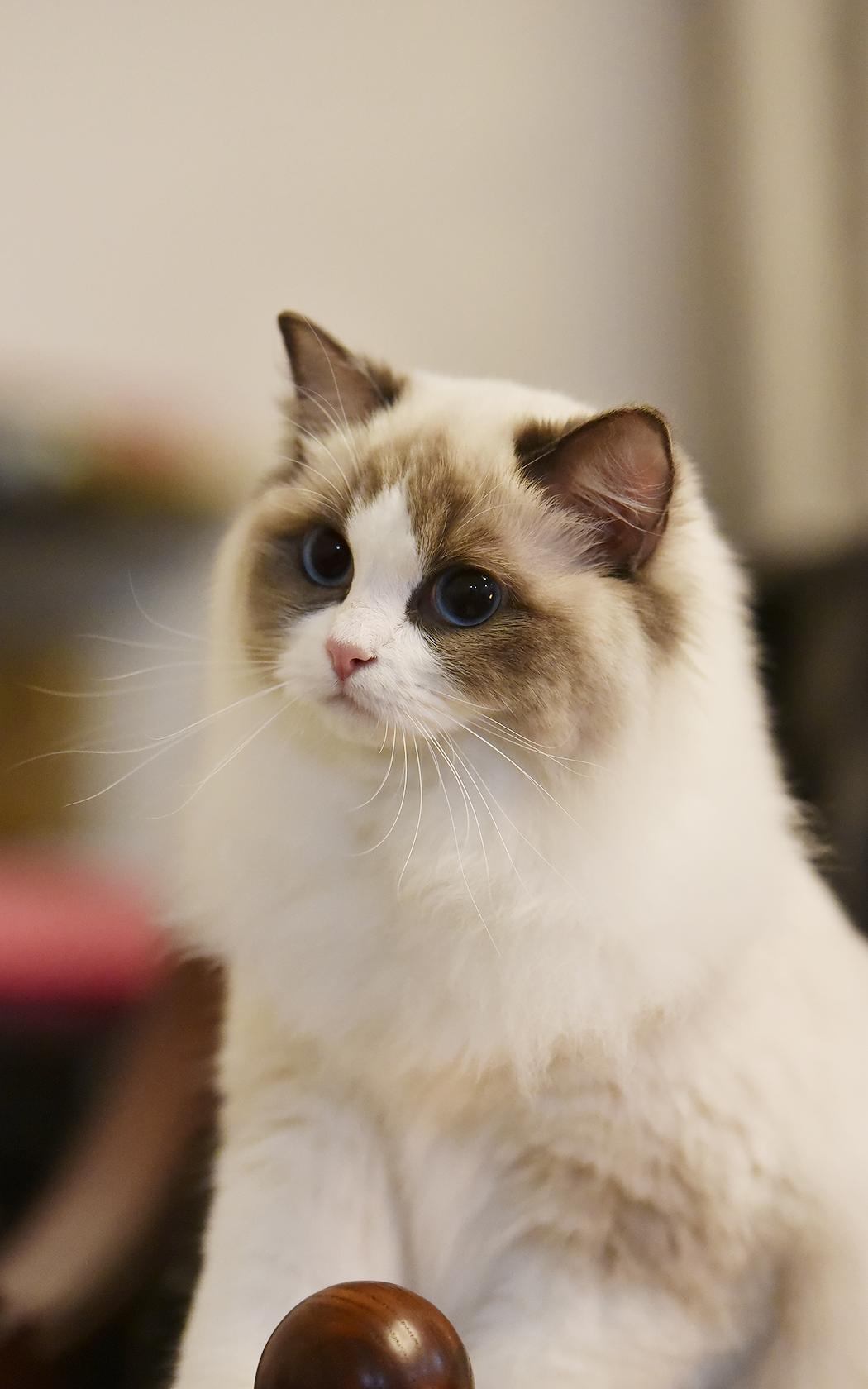 摄影作品网_布偶猫-chloe|摄影|动物|一猫爪拍死你 - 原创作品 - 站酷 (ZCOOL)