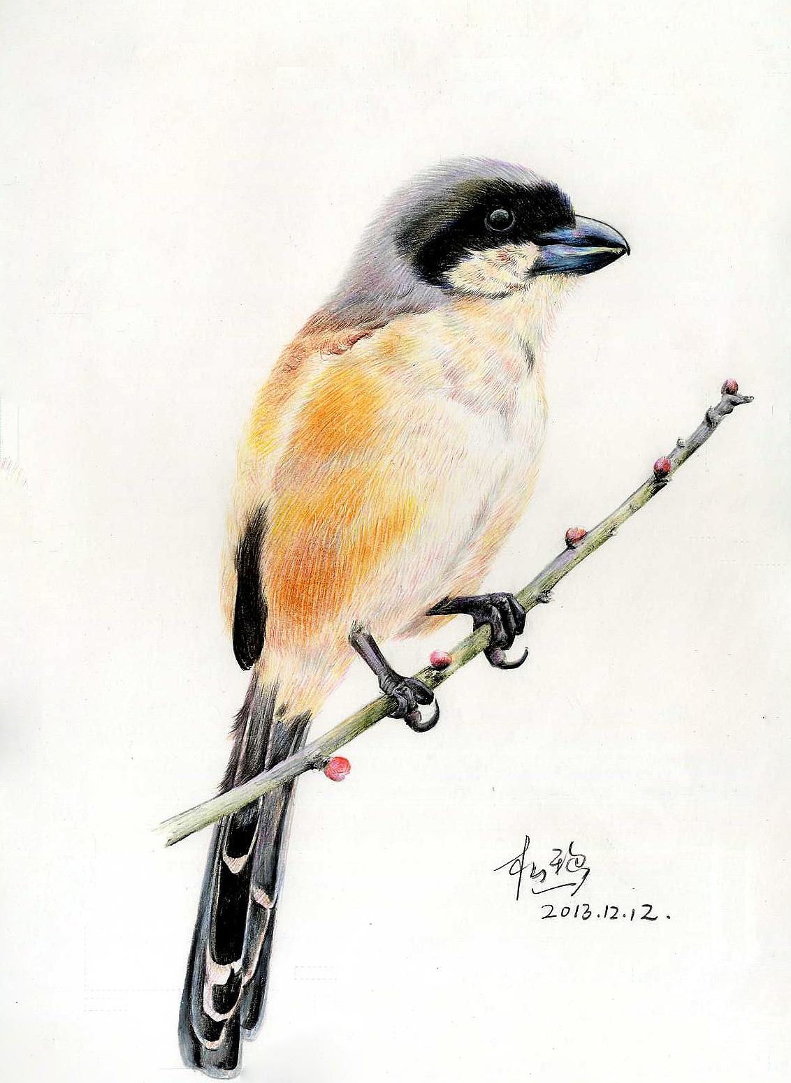 彩铅鸟类手绘——伯劳