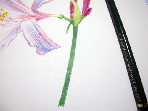 彩铅石蒜的手绘过程