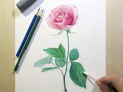 纸上彩铅--《玫瑰系贰》随录