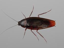C4D  蟑螂