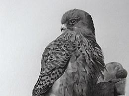 动物素描-红隼
