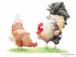 公鸡与母鸡