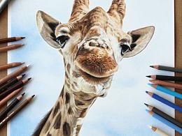 手绘-彩铅-长颈鹿