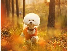 mini 【稻糕】 宠物摄影 宠物写真 杭州 比熊