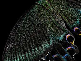 昆虫之美®绿带翠凤蝶的蜕变过程Papilio maackii