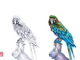 石思庆手绘·鹦鹉·