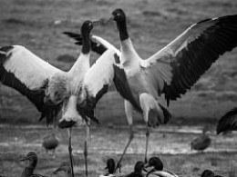 昭通大山包——黑颈鹤