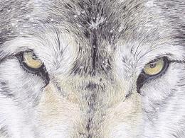彩色铅笔 狼