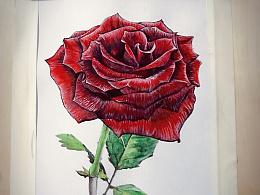 零基础也能画出这朵水彩玫瑰花