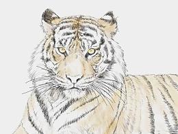 插画---《老虎》