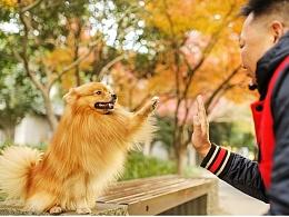 coco 【稻糕】 宠物摄影 宠物写真 杭州 博美