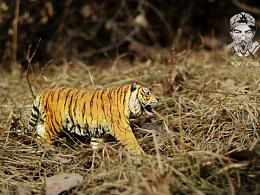 动物模型~东北虎涂装