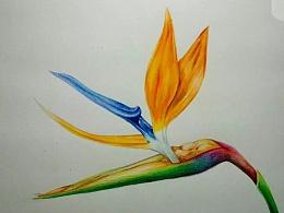 彩铅画--天堂鸟