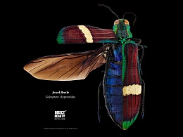 爪哇岛宝石吉丁虫,展翅及整肢