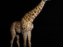 长颈鹿马塞亚种
