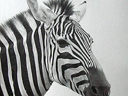 动物素描-斑马