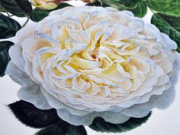 白玫瑰 水彩