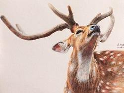 一只骄傲的鹿