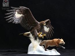 金雕捕食赤狐