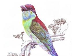 彩铅鸟类手绘——蓝喉蜂虎2
