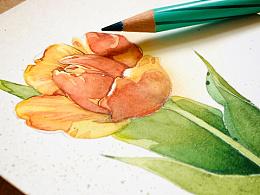 水彩花卉练笔--郁金香