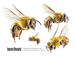 昆虫之美™蜜蜂
