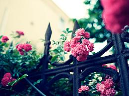 五月的蔷薇