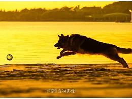 阿发达 & 琥珀 【稻糕】 宠物摄影 宠物写真 杭州 德牧