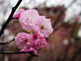 青龙寺樱花