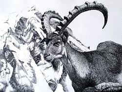 阿尔卑斯山脉の勇士——羱羊