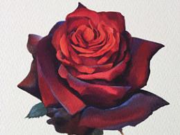 一朵娇艳的红玫瑰(视频)