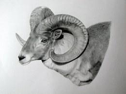 动物素描-盘羊