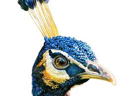 彩铅教程——孔雀的画法