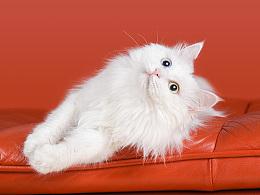 Onescat-克查原创作品【4】中华田园猫-琥珀&玉玉