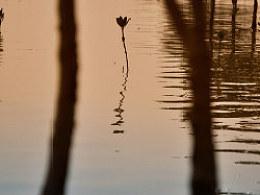 紅樹灣畔白鷺飛