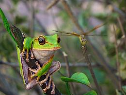 翡翠树蛙涂装