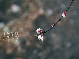 春分杏花开