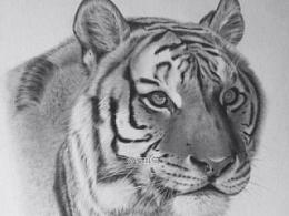 动物素描-东北虎