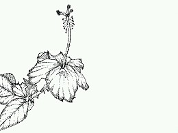 扶桑花――花卉练习