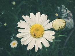 小雏菊和小昆虫