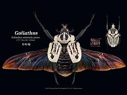 大王花金龟|展翅及整肢