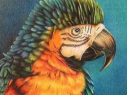 彩铅鹦鹉 手绘插画
