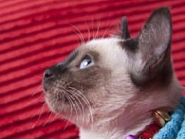 宠物摄影-暹罗