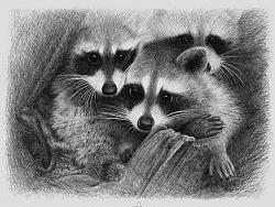 OY圆珠笔画:三只浣熊
