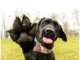 Abby 【稻糕】 宠物摄影 宠物写真 杭州 拉布拉多