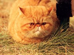 胖猫大黄的第一次外拍