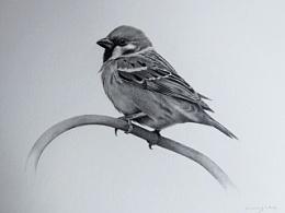 动物素描-树麻雀
