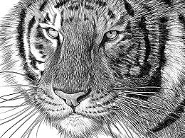 《大虎》——PS里面模拟针管笔素描